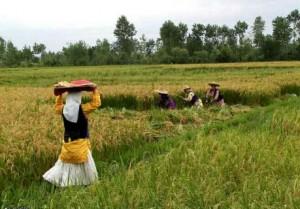 آشنايي با برنج هاي وارداتي