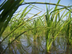 اردك در مزرعه برنج